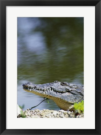 Framed Close-up of an American Crocodile In Water Print