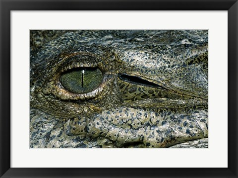 Framed Close-up of the eye of an American Crocodile Print