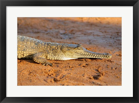 Framed High angle view of an Australian Freshwater Crocodile Print