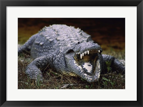 Framed Close-up of an American Crocodile Open Mouth Print
