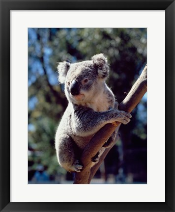 Framed Koala on a tree branch, Australia (Phascolarctos cinereus) Print