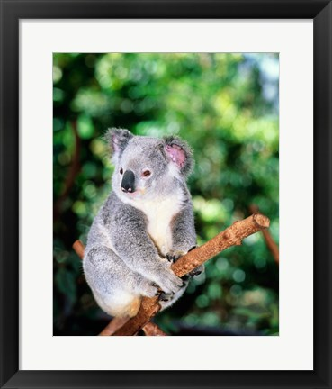Framed Koala on a tree branch, Lone Pine Sanctuary, Brisbane, Australia (Phascolarctos cinereus) Print