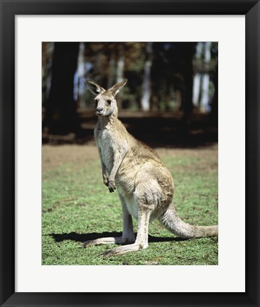 Framed Kangaroo in a field, Lone Pine Sanctuary, Brisbane, Australia Print