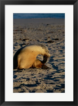 Framed Australian Sea Lion Print