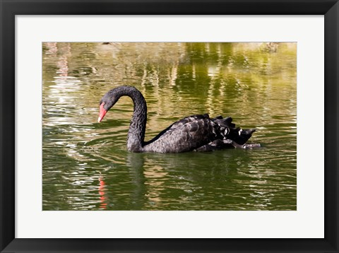 Framed Black swan (Cygnus atratus) swimming in a pond, Australia Print