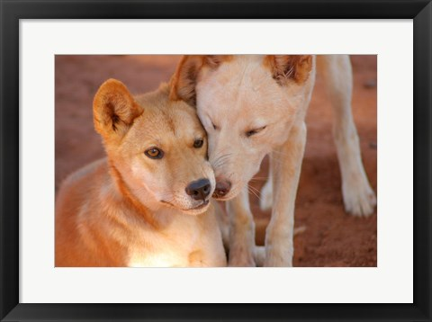 Framed Close-up of two dingoes, Australia Print
