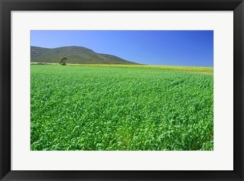 Framed Panoramic view of a wheat field, Eyre Peninsula, Australia Print
