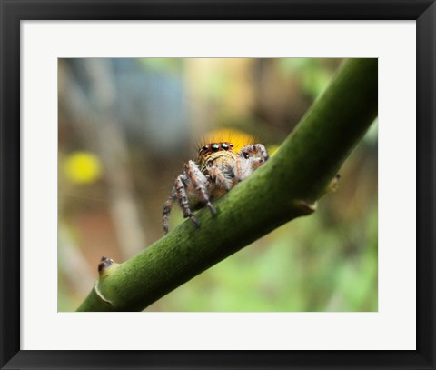Framed Small Spider Print
