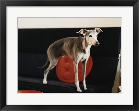 Framed Italian Greyhound standing on a sofa Print