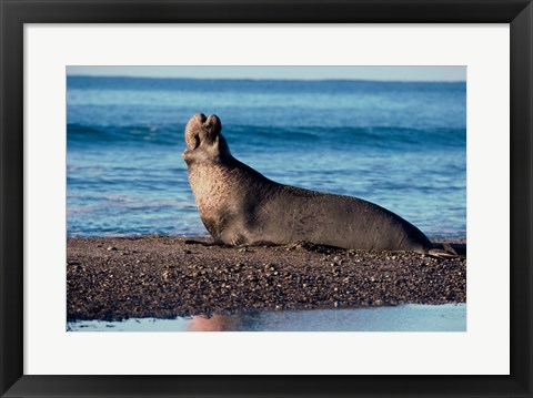 Framed Male Northern Elephant Seal Print