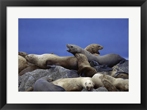 Framed Steller Sea Lions Print