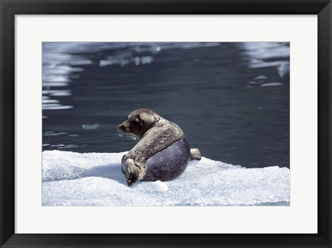 Framed Rear view of a Harbor Seal lying on snow, Alaska, USA Print