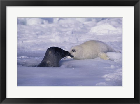 Framed Harp Seals Rubbing Noses Print