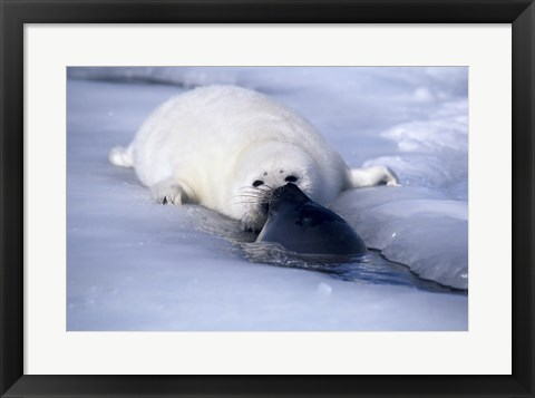 Framed Harp Seal sniffing its pup Print