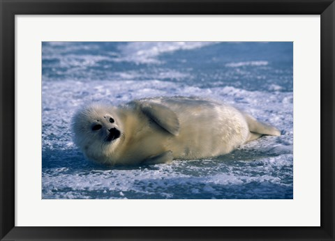 Framed Fluffy Harp Seal Print