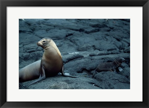 Framed Galapagos Sea Lions Print