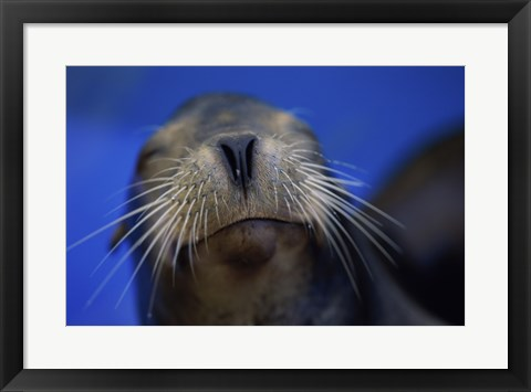 Framed Close-up of a California Sea Lion swimming in water Print