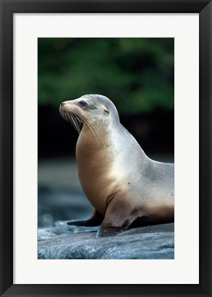 Framed Galapagos Sea Lion Galapagos Islands Ecuador Print