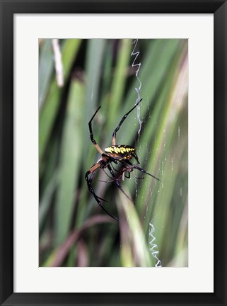 Framed Close-up of an Argiope Spider Print
