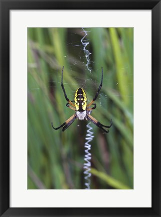 Framed Close-up of a Garden Spider Print