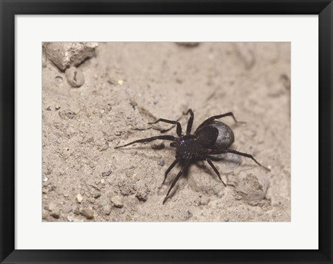 Framed High angle view of a Black Widow Spider Print