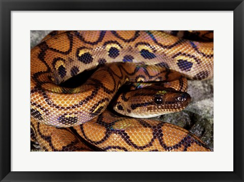 Framed Close-up of a Brazilian Rainbow Boa curled up (Epicrates cenchria cenchria) Print