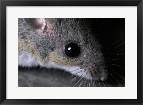 Framed White-footed Mouse - up close Print