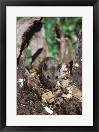 Framed Deer Mouse Print