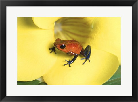 Framed Strawberry Poison Dart Frog Print