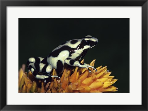 Framed Green and Black Poison Frog Print
