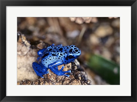 Framed High angle view of a Blue Poison Arrow Frog on a rock Print