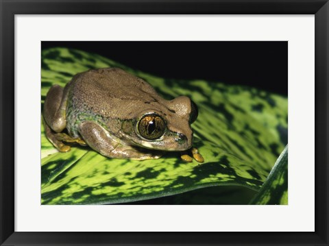 Framed Big-eyed Treefrog Print