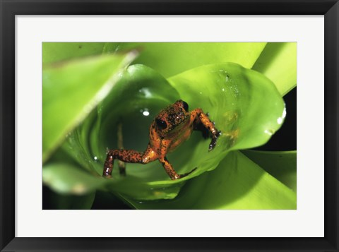 Framed Strawberry Poison Frog on leaves Print