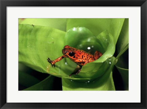 Framed Close-up of a Strawberry Poison Dart Frog on a leaf Print