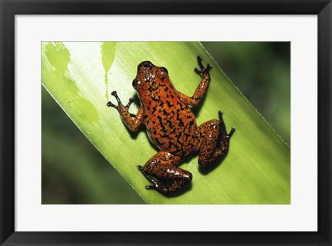 Framed Strawberry Poison Frog Print