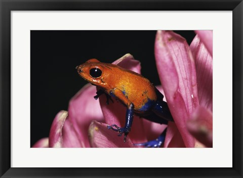 Framed Strawberry Poison Frog - pink flower Print