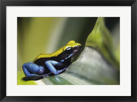 Framed Close-up of Blue-Legged Mantella Frog Print