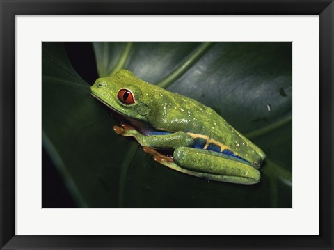 Framed Red-Eyed Tree Frog Print