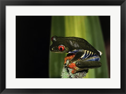 Framed Close-up of a Red-eyed Tree Frog on a flower Print