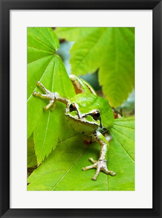 Framed Close-up of a Green Tree Frog on a leaf Print
