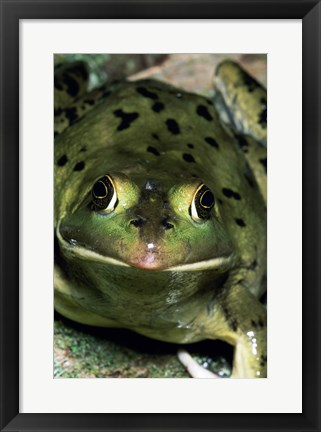 Framed Close-up of a Pig Frog (Rana grylio) Print