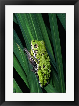 Framed Close-up of a Barking Tree Frog resting on a leaf Print