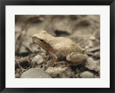Framed Close-up of a toad on a rock Print
