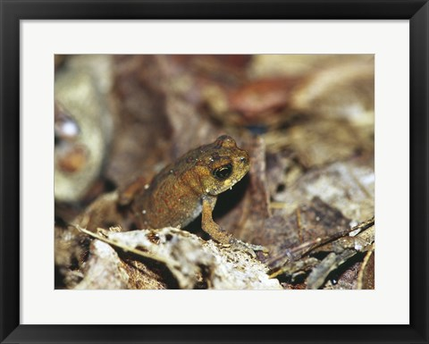 Framed Close-up of a toad on the ground Print