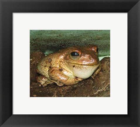 Framed Cuban Tree Frog Print
