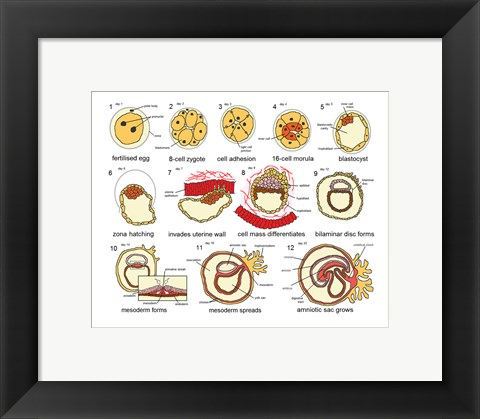 Framed Human Embryogenesis Print
