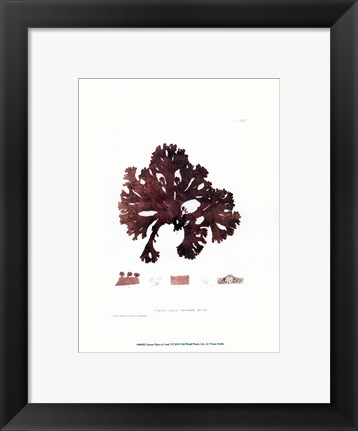 Framed Nature Print in Coral I Print