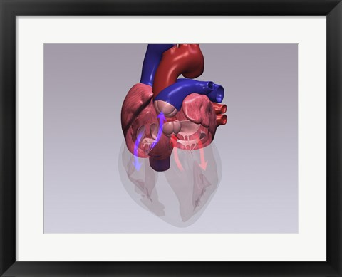 Framed Close-up of a human heart with flow model Print