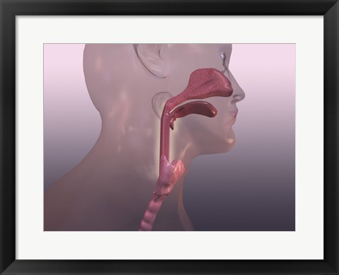 Framed Close-up of a human respiratory system Print