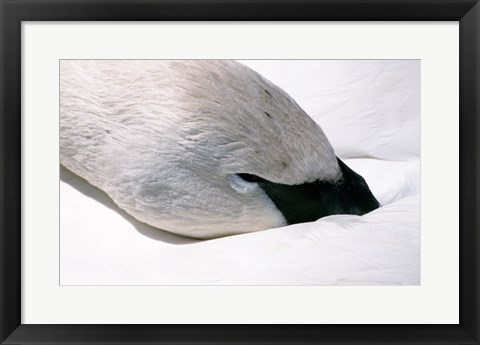 Framed Close-up of Trumpeter Swan (Cygnus buccinator) Print